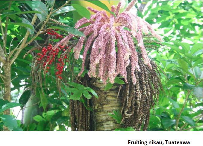 Fruiting Nikau